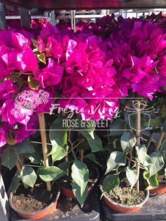 Cserepes virág - Virágküldés